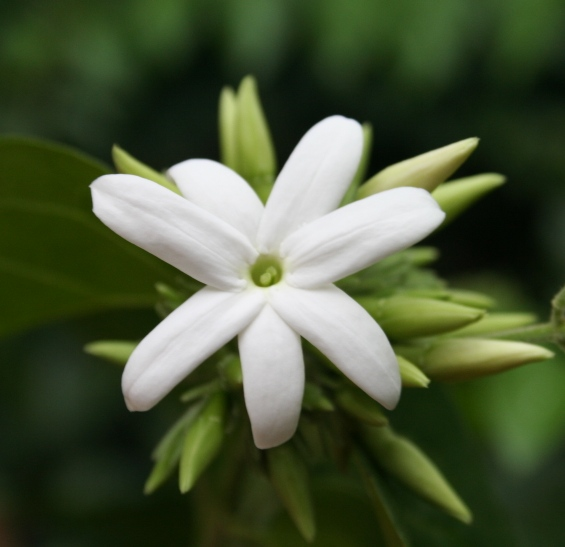 Pakistan National Flower jasmine