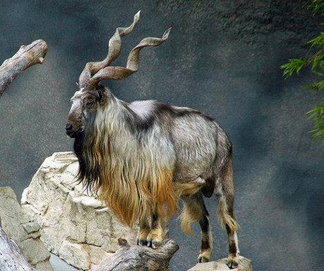 Pakistan National Animal Markhor