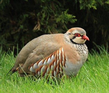 Pakistan National Bird chakor