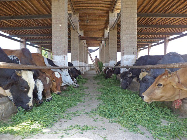 Goat Farming In South Africa